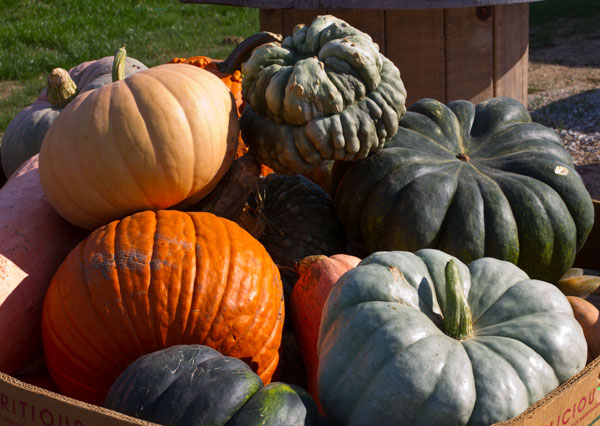 Pumpkins-at-farhmeier