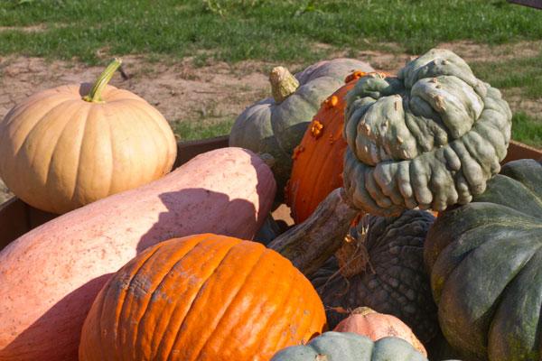 pumpkins2-at-farhmeier